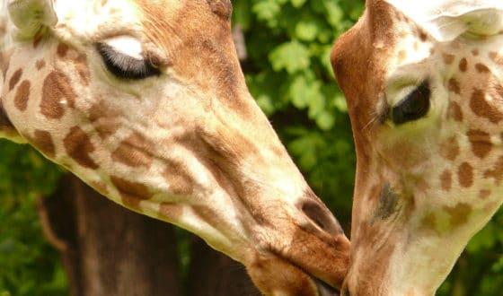 Deux girafes dans le Calvados en Normandie