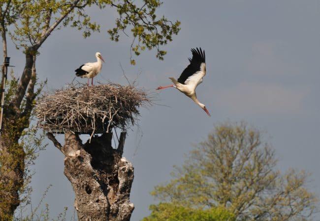 À voir dans les marais : des cigognes dans leur habitat