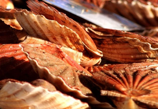 Coquilles saint jacques dans le Calvados