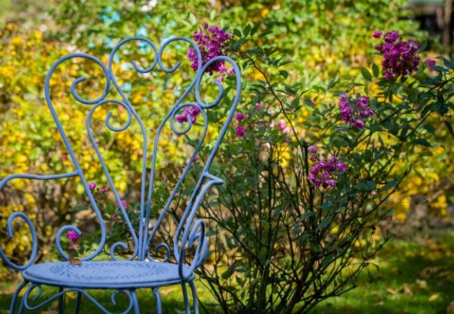Une chaise devant un massif de roses de la roseraie du jardin de jumaju à Montchamp