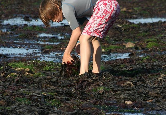 Pêche à pied et découverte des espéces sous les cailloux découverts par la marée