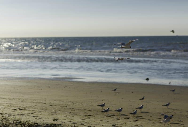 mouettes sur une plage du Calvados