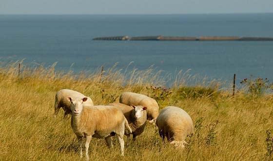 Moutons dans un champ au bord de la mer