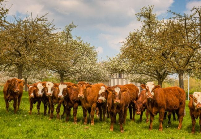 Vaches dans un champ