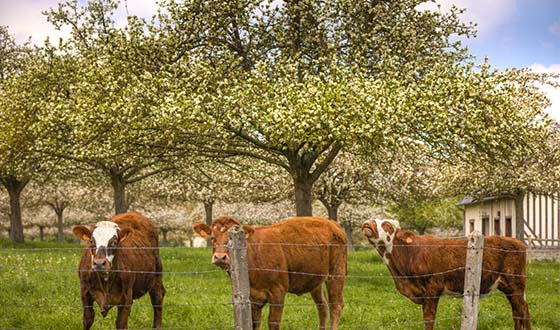 Vaches dans un champ de pommiers