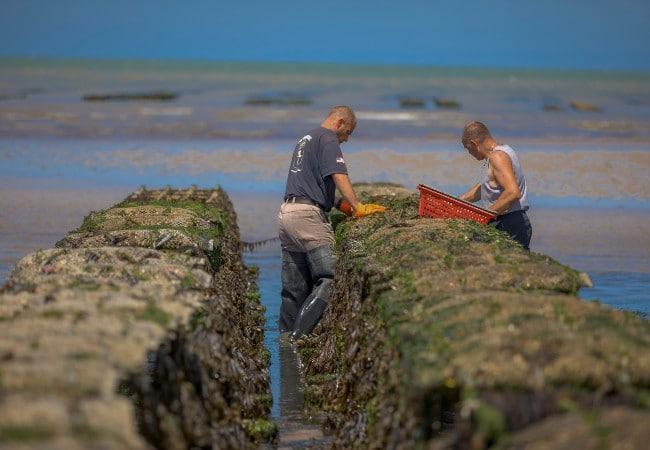 ostréïculteurs travaillant dans les parcs à huîtres de Normandie à Asnelles