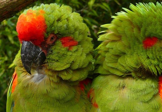 Perroquets verts et rouges